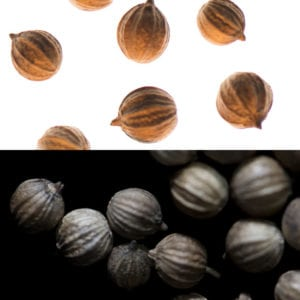 Coriander Seeds, an olfactory ingredient used by the Society of Scent