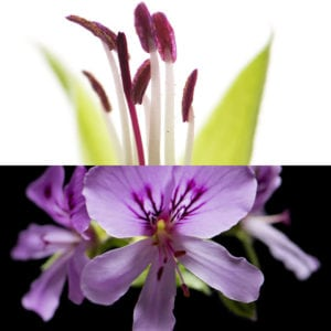 Geranium, an olfactory ingredient used by the Society of Scent