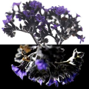 Heliotrope, an olfactory ingredient used by the Society of Scent
