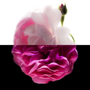 Rose, an olfactory ingredient used by the Society of Scent