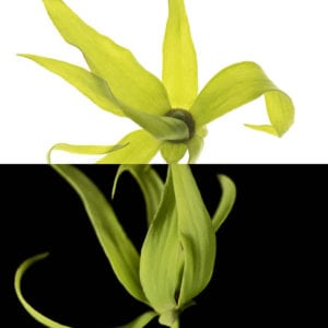 Ylang Ylang, an olfactory ingredient used by the Society of Scent